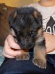 German-Shepherd-RedCollar (16).jpg